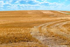 sticking out beveled dry straw in the field - stock photo