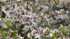 Blossom bush of Prunus tomentosa at early spring - stock footage