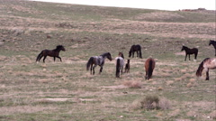 Panning view of wild horses slowly running through the herd. - stock footage