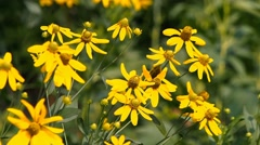 Bright yellow rudbeckia flower Stock Footage