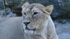 Asiatic lion (Panthera leo persica), also known as the Indian lion, is a lion su - stock footage