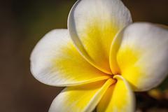 Frangipani - plumeria flower Stock Photos