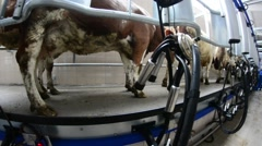 Closeup of hand milking a cow in a farm Stock Footage