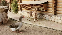 Two goats and gray goose Stock Footage