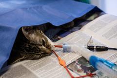 Sick cat on a iv drip Stock Photos