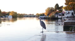 View of a Grey Heron standing on the bank of the Thames in London, Uk. Stock Footage