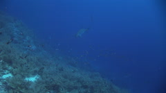 Thresher shark turning close to reef, Red Sea, Egypt Stock Footage