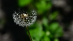 Close up of dandelion spores blowing away Stock Footage