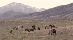 Zoomed view of wild horses across the landscape. Stock Footage