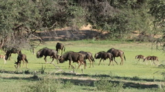 Blue wildebeest herd, African wildlife safari, Kalahari, South Africa Stock Footage