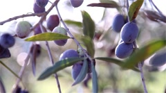 Branch of olives with blurred background with other branches Stock Footage