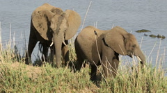 Feeding African elephants, African wildlife, Kruger National Park, South Africa - stock footage