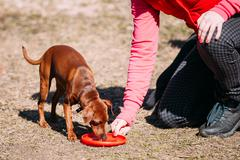Funny Cute Brown Miniature Pinscher Pincher on Frisbee Training - stock photo