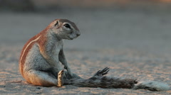 Sitting ground squirrel, Kalahari desert, South Africa Stock Footage