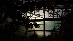 Dark Leaves of Tropical Plant on Background of Glass Windows of Greenhouse Stock Footage