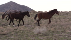 Panning view of wild horses slowly running. - stock footage