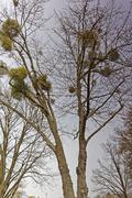 mistletoe - stock photo