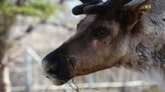 Woodland Caribou (Rangifer tarandus caribou) Stock Footage