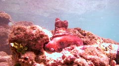 Red octopus (Octopus cyanea) Stock Footage