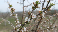 Blossom bush of Prunus tomentosa at early spring Stock Footage
