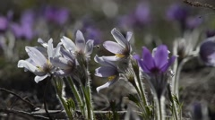 Spring snowdrops grow in the forest - stock footage