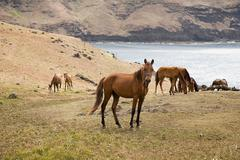 Horses on ua huka Stock Photos