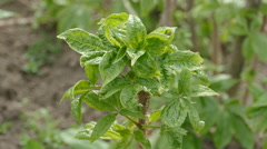 The shrub of Eleuterococcus senticosus early spring Stock Footage
