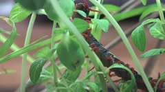 Black Scolopendra, Centipede insect macro red legs and hard shell Stock Footage
