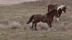 Panning view of wild horses slowly running past herd. - stock footage