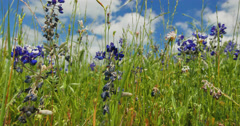 Texas Bluebonnets Stock Footage