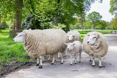 Group of white sheep and lamb on road in nature - stock photo