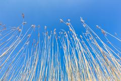 Reed stems with plumes against blue sky in spring - stock photo