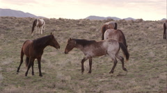 Two wild horses playing with each other amongst the herd. Stock Footage