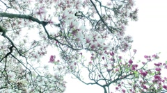 Blooming Magnolia Tree Stock Footage