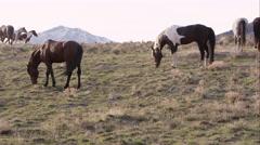 Wild horses grazing along the horizon Stock Footage