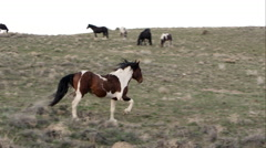 Wild horse slowly running towards another that tries to kick it in the head. - stock footage