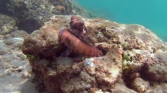 Cyane's octopus cautiously examining the surroundings and is hiding in cave - stock footage