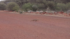Goanna crossing a dirt road just outside of the town of Leonora in Western Austr Stock Footage