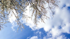 4k timelapse of blooming plum tree branches with blue sky with clouds background Stock Footage