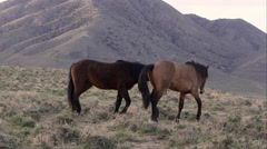 Two wild horses playing on top of hill. Stock Footage
