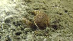 Grapsoid Crab crawling on muddy bottom. Stock Footage