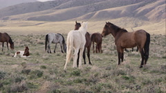 Three wild horses playing with each other amongst the herd. Stock Footage