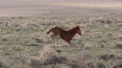 View of wild pony standing up then walking over to its mother. - stock footage