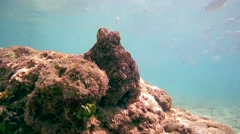 Curious red octopus (Octopus cyanea) Stock Footage
