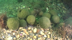 Formation of balls green algae Cladophora. Stock Footage