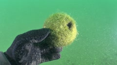 Formation of balls green algae Cladophora. Stock Footage