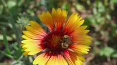 Bumblebee on a flower Gaillardia Stock Footage