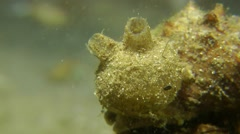 Sea squirt on a rock. - stock footage