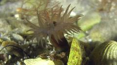 Sea anemone in underwater stream current. Stock Footage