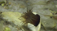 Sea anemone collapses its tentacles. - stock footage